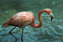 Pink flamingo in the water. Tropical garden Stock Photo