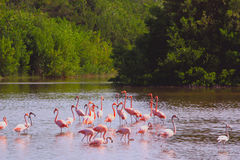 Pink flamingos in the wild. Royalty Free Stock Photo