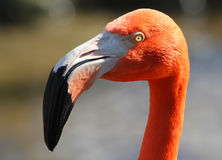 Pink flamingos, wild life Stock Images