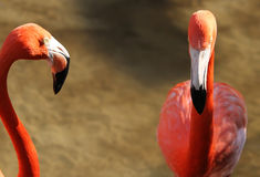 Pink flamingos, wild life Royalty Free Stock Images