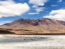 Pink flamingos in wild nature of Bolivia, Eduardo Avaroa Nationa Stock Image