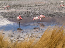 Pink flamingos in wild nature of Bolivia, Eduardo Avaroa Nationa Royalty Free Stock Photos