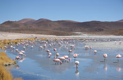 Pink flamingos in wild nature of Bolivia Royalty Free Stock Images