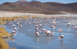 Pink flamingos in wild nature landscape Stock Photography