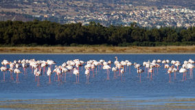 Pink flamingos in wildlife Stock Photos