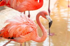 Pink flamingos in wildlife royalty free stock photo