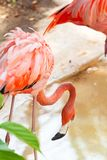 Pink flamingos in wildlife royalty free stock photography