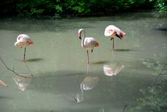 Pink flamingos on woter. The greater flamingo is the most widespread species of the flamingo family. It is found in Africa, on the Indian subcontinent, in the Stock Photo