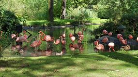 Pink Flamingos. In zoo Stock Images