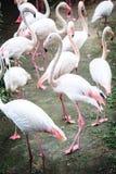 The pink flamingos Stock Photos