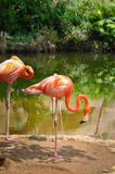Pink Flamingos at the zoo, Cali, Colombia.  Stock Image