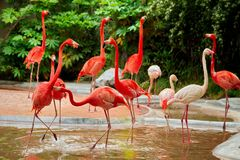 Pink flamingos at the zoo Royalty Free Stock Photography
