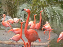 Pink Flamingos. At the zoo showing their beauty and standing posing for the camera Royalty Free Stock Photo