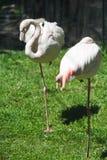 Pink flamingos at the zoo Royalty Free Stock Photo