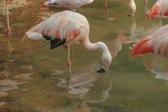 Pink flamingos at a Zoo Stock Image