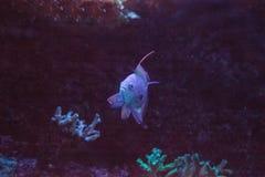Pink flasher wrasse Paracheilinus carpenteri. Swims across a marine reef stock photography