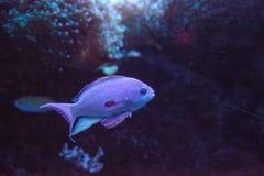 Pink flasher wrasse Paracheilinus carpenteri. Swims across a marine reef stock photos