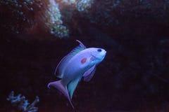 Pink flasher wrasse Paracheilinus carpenteri. Swims across a marine reef royalty free stock images