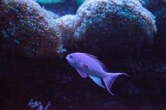 Pink flasher wrasse Paracheilinus carpenteri. Swims across a marine reef royalty free stock photo