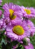 Pink Fleabane Stock Images