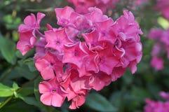 Pink floks flower Stock Image