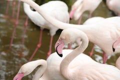 Pink flomingoes walking at zoopark Stock Image
