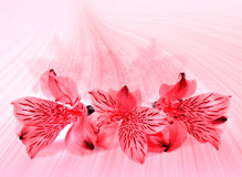 Pink floral card Royalty Free Stock Image