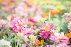 Pink floral in garden , flower zinnia elegans , color nature bac Royalty Free Stock Image