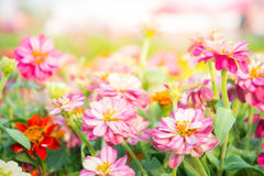 Pink floral in garden , flower zinnia elegans , color nature bac Royalty Free Stock Photos