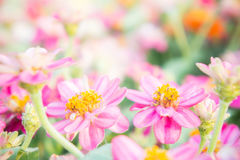 Pink floral in garden , flower zinnia elegans , color nature bac Stock Images