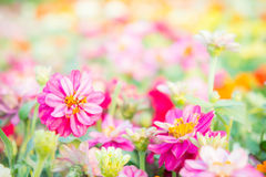 Pink floral in garden , flower zinnia elegans , color nature bac Royalty Free Stock Photo
