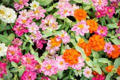 Pink floral in garden , flower zinnia elegans , color nature bac Stock Image