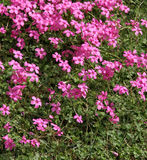 Pink florets in a green grass. Summer clearing. Stock Image