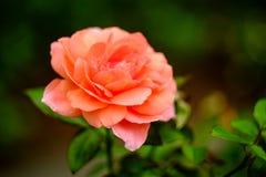 Pink Floribunda Rose. Closeup macro pink floribunda hybrid rose tea crossbreed stock photo