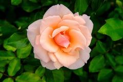 Pink Floribunda Rose. Closeup macro pink floribunda hybrid rose tea crossbreed royalty free stock images