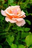 Pink Floribunda Rose. Closeup macro pink floribunda hybrid rose tea crossbreed stock photos