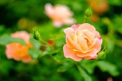 Pink Floribunda Rose. Closeup macro pink floribunda hybrid rose tea crossbreed stock image