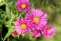 Pink flourishing asters. With a bee Stock Images