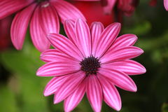 Pink flover with white strips różowy kwiat Royalty Free Stock Images