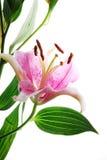 Pink flowe Royalty Free Stock Photos