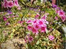 Pink flowe. Pink  flower  on the garden Stock Photography