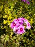 Pink flowe. Pink  flower  on the garden Stock Photos