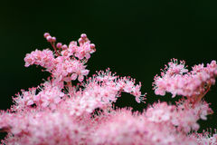 Pink flower. Macro Royalty Free Stock Photo