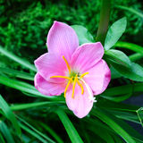 Pink flower. And green grass Royalty Free Stock Photography