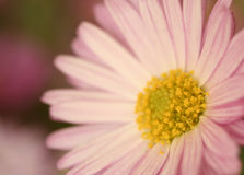Pink flower. Macro shot of a beautiful pink flower(soft focus Royalty Free Stock Photos