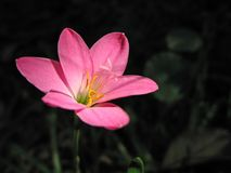 A pink flower Royalty Free Stock Photo