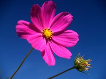 Pink flower. Beautiful pink flower against the blue sky, macro Royalty Free Stock Images