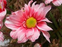 Pink flower. Beautiful pink flower, Mediterranean Spain royalty free stock photo