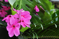 Pink Flower. Pink color flower blooming in the garden Royalty Free Stock Photography