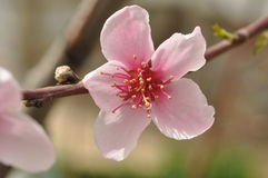 Pink flower. A pink flower from a tree as a sign of spring royalty free stock photography